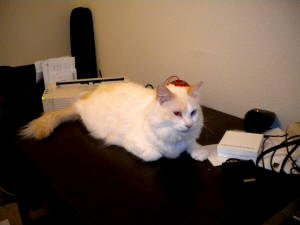 white cat with light orange markings and fluffy tail sits on a desk