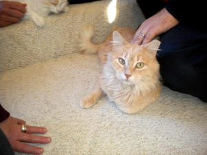 Light orange/yellow cat stars at camera as he's being petted.